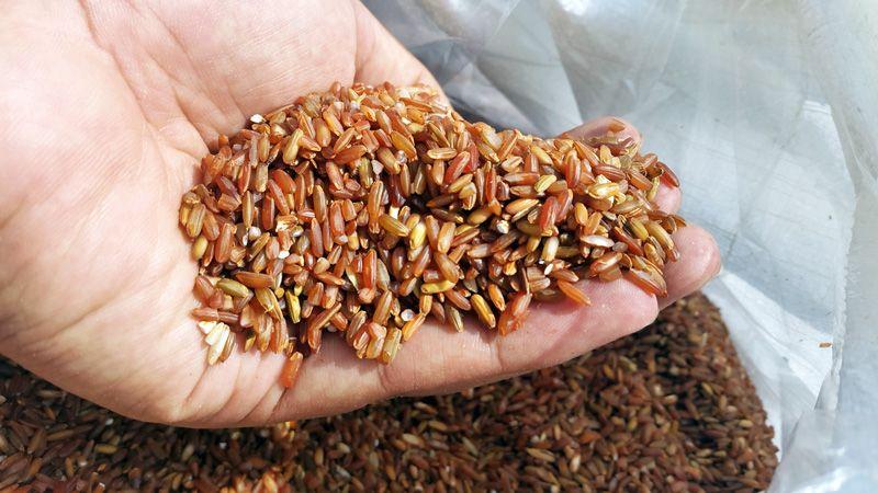 Beras Merah Organik Produksi Suoh Terkendala Pemasaran