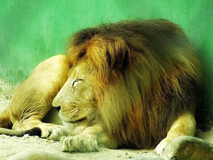 O leão baixa a cabeça e vira para o lado