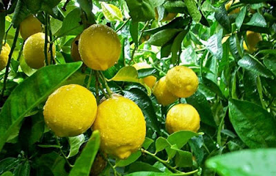 Cara Budidaya Jeruk Lemon
