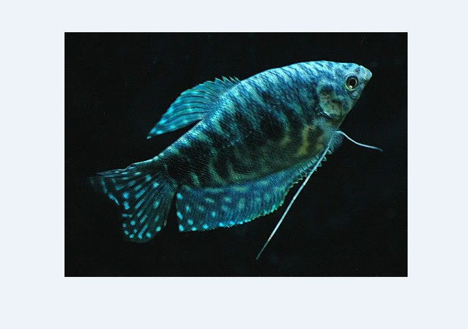 Ikan Sepat Biru Hias