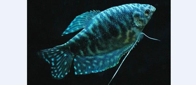 Ikan Sepat Biru Hias? Ini Dia Cara Budidaya dan Merawatnya