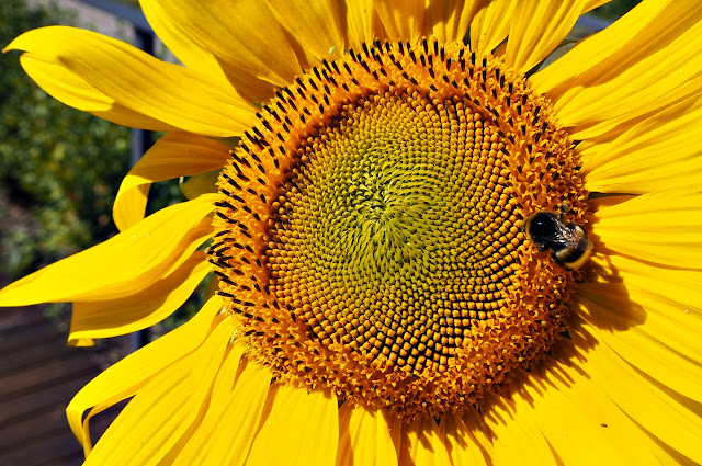A Bee in a sunflower