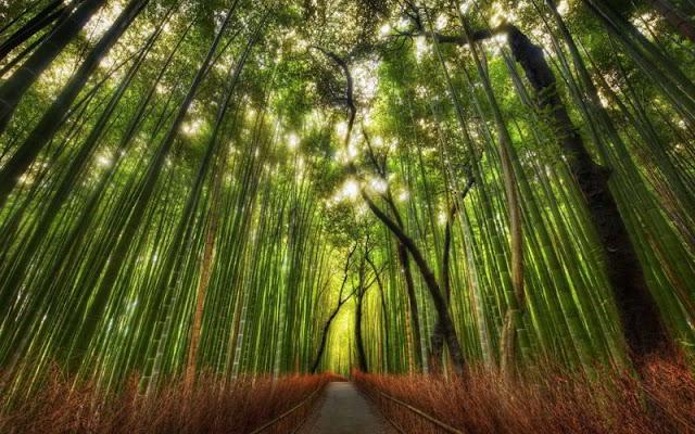 غابة الخيزران ,ساجانو ,اليابان Bamboo Forest, Sagano, Japan