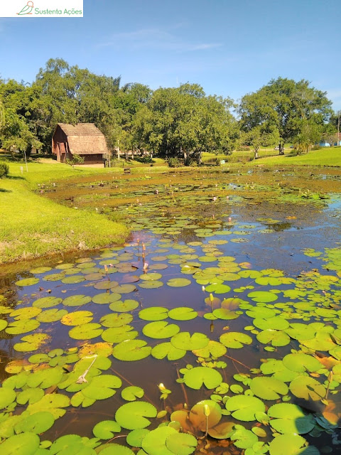 Muitas vitórias-régias no Jardim Botânico de Timbó