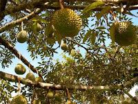 Minum Kopi Setelah Makan Durian, Berbahaya?