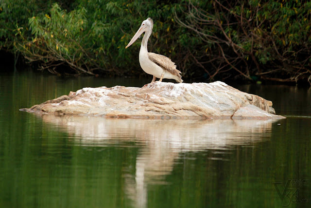 Pelican - Ranganathittu