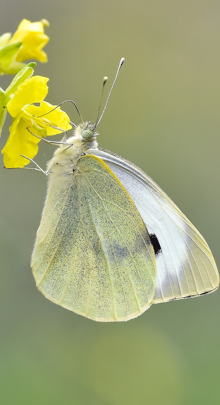 Picture of a cabbage white butterfly.