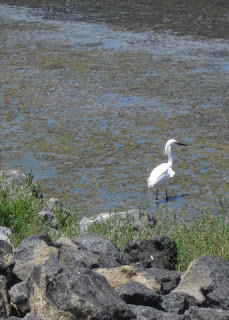 Snowy egret near the water's edge, San Francisco Bay tidal pond, Mountain View, California
