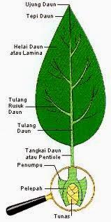 Fungsi Daun Tumbuhan : fungsi, tumbuhan, Gede.pradnyana's, Note:, Pengertian,, Fungsi,, Struktur