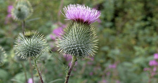 MILK THISTLE - Benefits for Skin and Health
