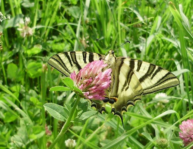 Bolboreta Iphiclides podalirius libando