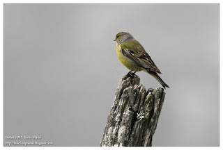 https://ailesetvie.blogspot.com/search/label/Venturon%20montagnard%20-%20Carduelis%20citrinella