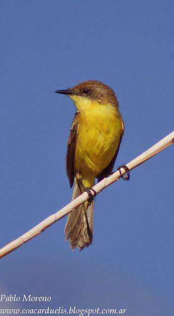 "alt=""doradito limon,Pseudocolopterix citreola,aves de Mendoza"""