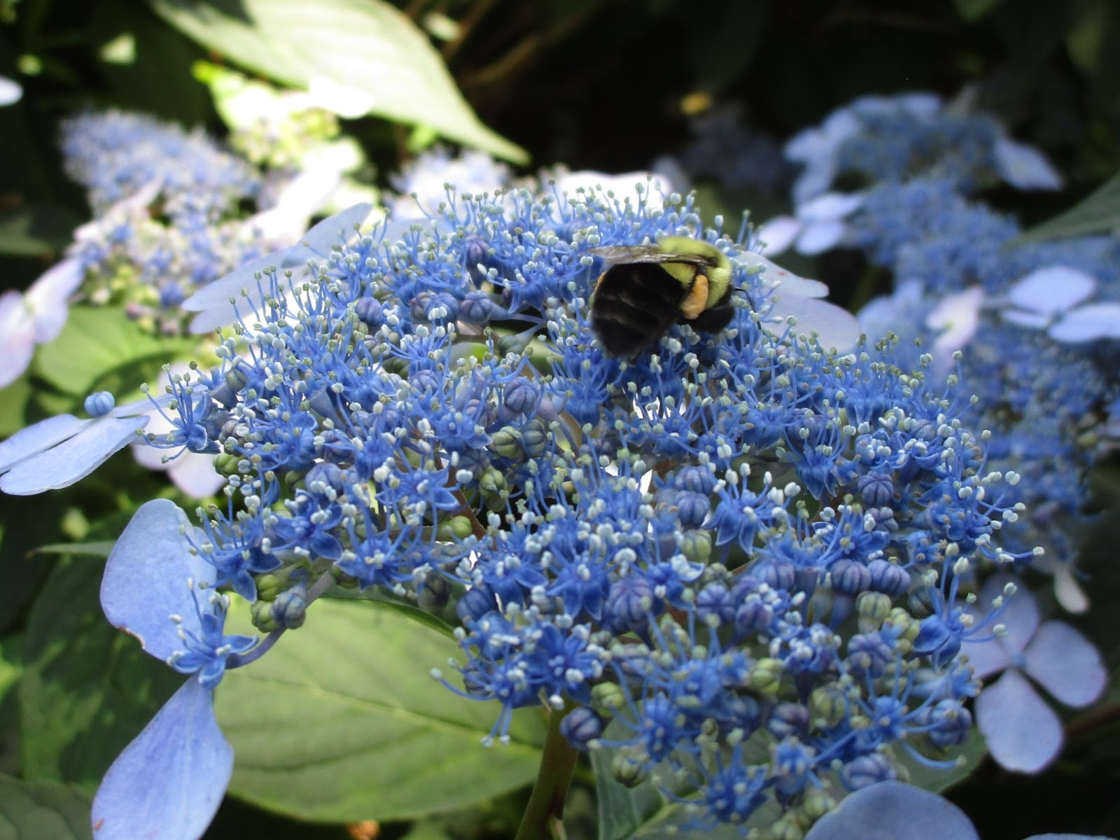 Outside now because almost everyone but not madonna loves hydrangeas the bumblebees especially seemed to be digging the lacecap hydrangeas this weekend the tiny blue flowers seemed to make this hydrangea the it plant of izmirmasajfo