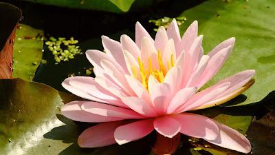lotus-flower-wallpapers-for-desktop-laptop