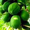 Pepaya mempunyai kandungan vitamin C yg sangat tinggi 6 Manfaat Pepaya Muda untuk Kesehatan