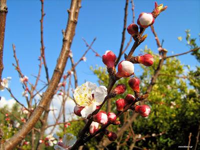Βερικοκιά: σπορά φύτεμα καλλιέργεια