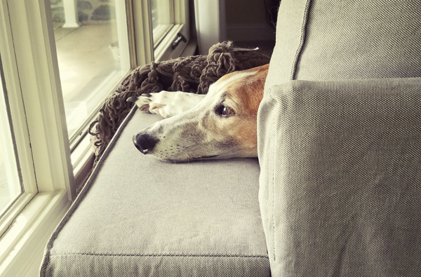 image of Dudley the Greyhound, whose face is just visible resting on the arm of the couch, as he gazes out the window