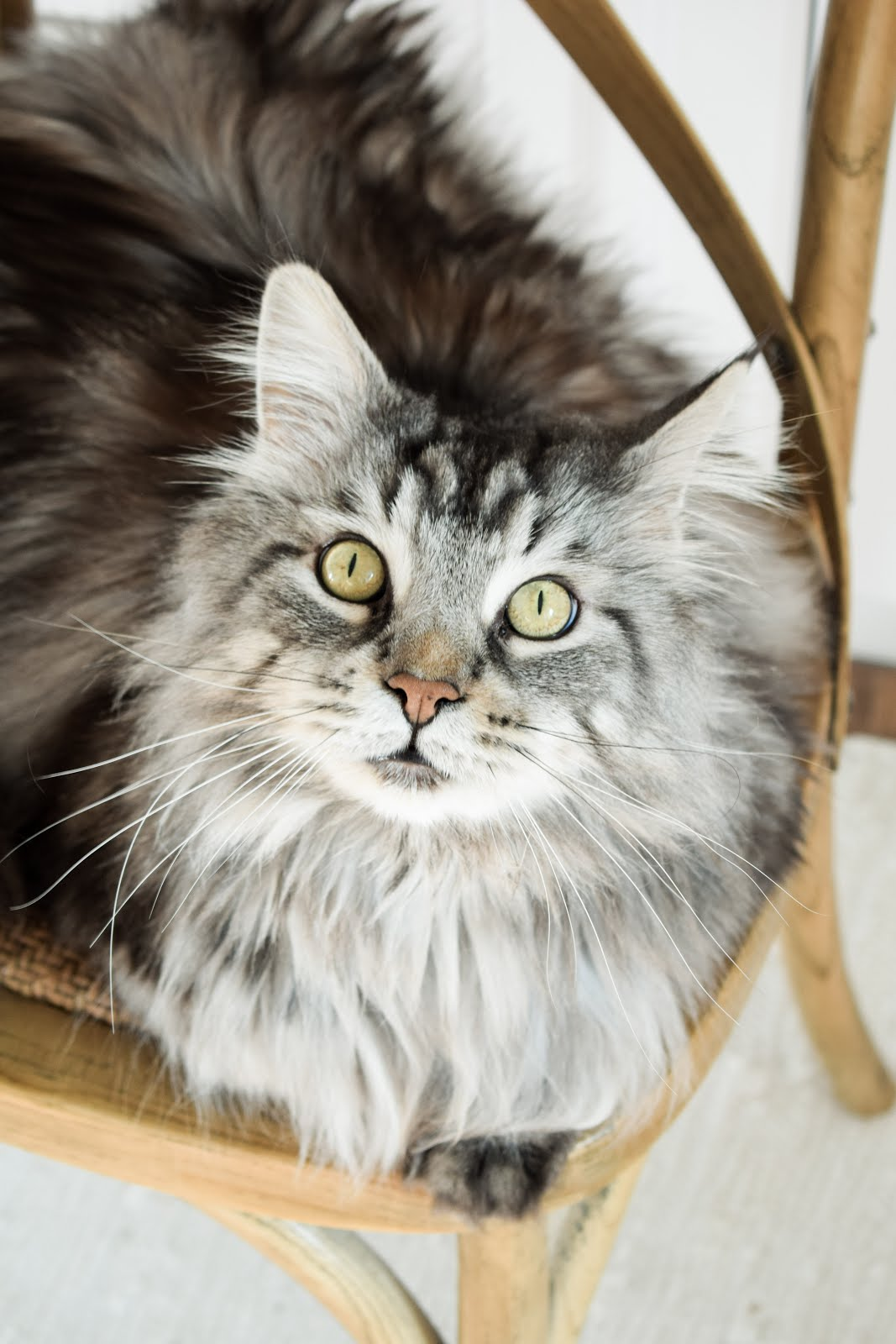 MAINE COON CHARLIE