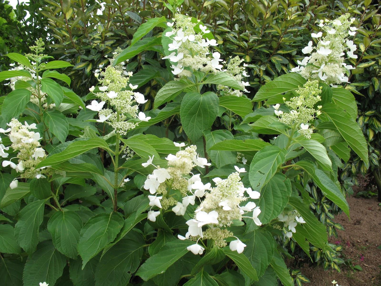 Roses Du Jardin Cheneland Hydrangea Paniculata Papillon