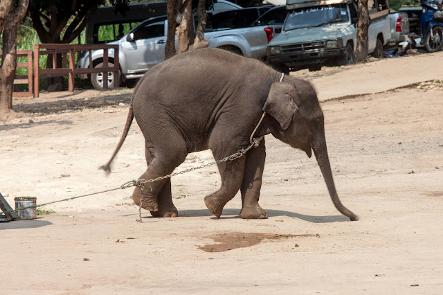 Baby elephant tied up, waiting to entertain tourists at a venue in Thailand. After brutal training as youngsters, elephants like this one spend their lives forced into unnatural interactions with tourists