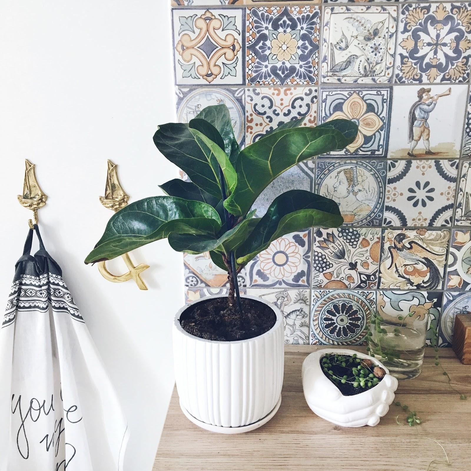 Ficus lyrata augalas