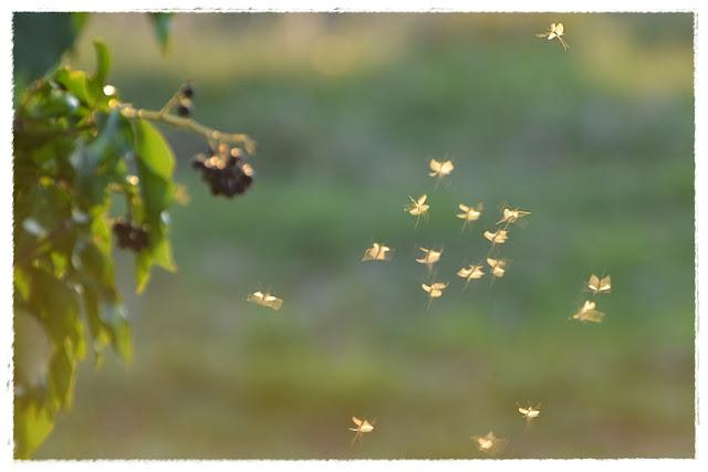 insectes peut être ephemeres volant dans la lumiere