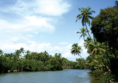 Coconut trees by the river side of Mangalore city in India
