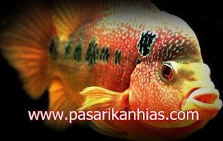Type Ikan Hias Louhan indonesia Kemalau