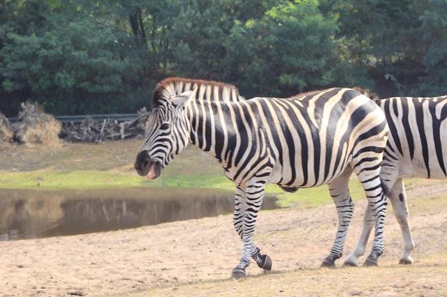Zebras laufen neben den Autos her...