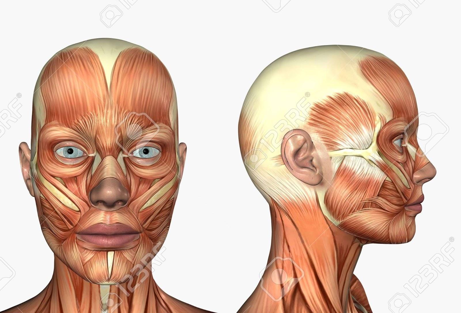 Anatomía de Cabeza