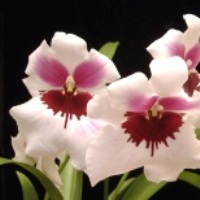 Orchid Care Information Miltonia Orchids