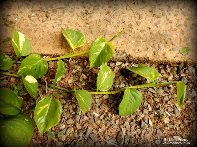 Como fazer mudas JIBÓIA-VERDE ( Epipremnum pinnatum )
