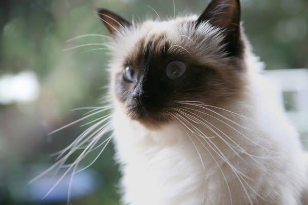 Birman Cat Fun Animals Wiki Videos Pictures Stories
