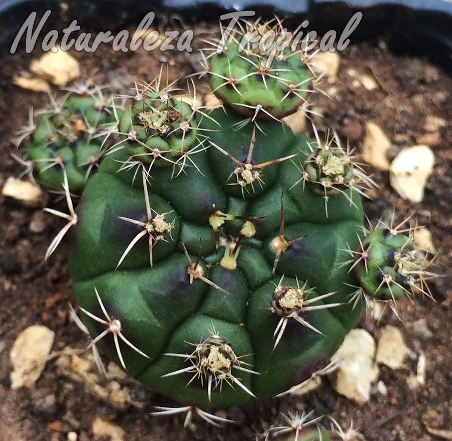 Gymnocalycium anisitsii con numerosos hijuelos basales, esta especie crece muy rápido