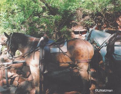 Horses, Grand Canyon