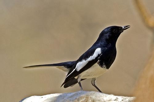 Suara Burung Kacer Gacor Buat Masteran