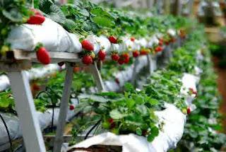 Kebun Stroberi, Potensi Ekonomi dan Wisata di Pegunungan