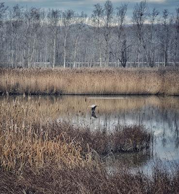 Bernat pescaire (Ardea cinerea) sobrevolant l'estany de Sils