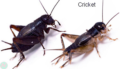 cricket, cricket insect