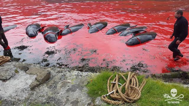 Φρίκη από την ομαδική σφαγή 622 δελφινιών και φαλαινών (βίντεο)