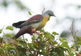 littke green pigeon