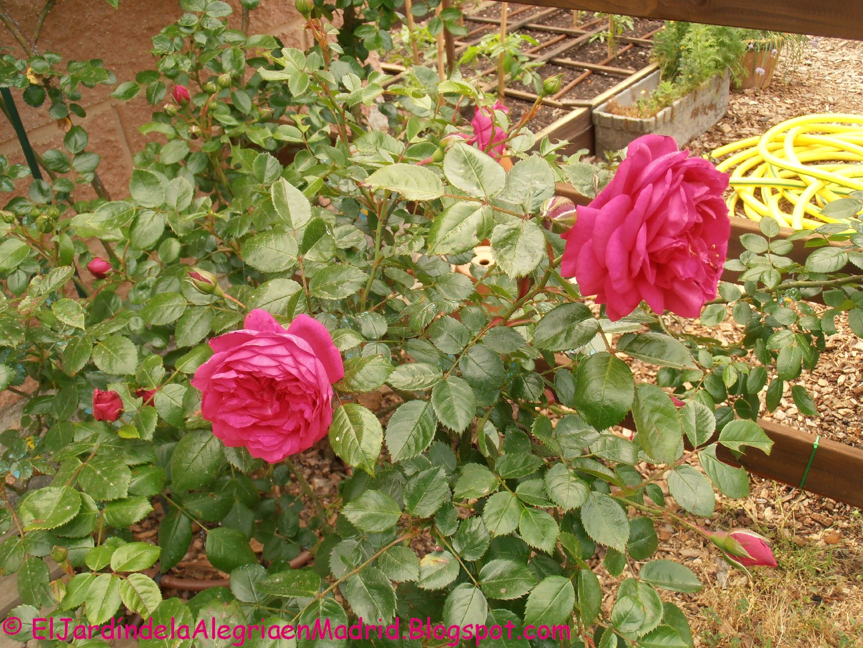 el jard n de la alegr a los rosales del huerto i rosa 39 laguna 39 de kordes. Black Bedroom Furniture Sets. Home Design Ideas