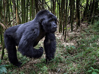Getting The Most Out of Your Gorilla Safari