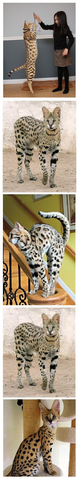 Animals Planet, The elegant savannah cats