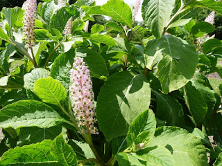 Phytolaque clavigère - Phytolacca clavigera