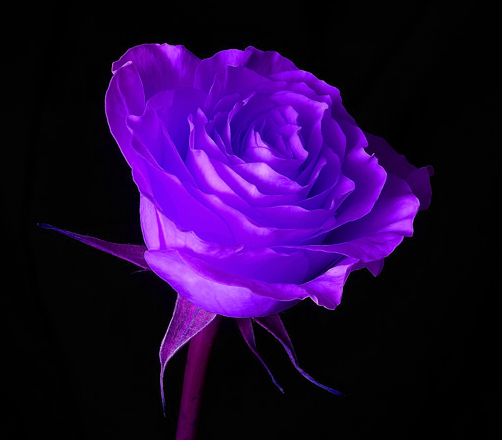 HD Wallpaper Of Blue Rose