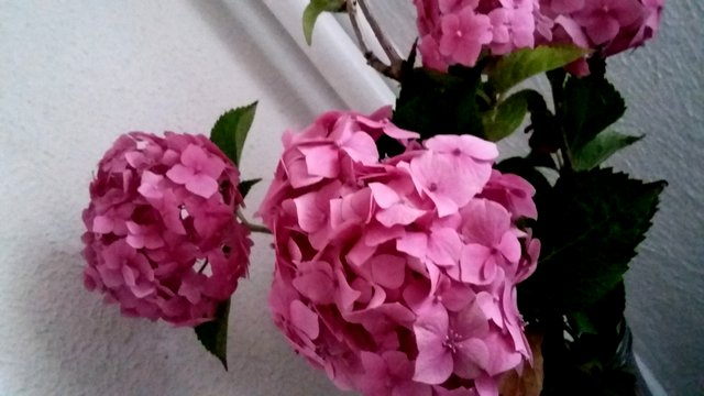 kwiaty, kwiaty cięte, hortensje