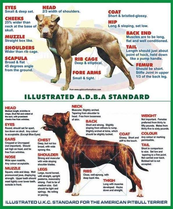 History of the American Pit Bull Terrier & The Evolution ...