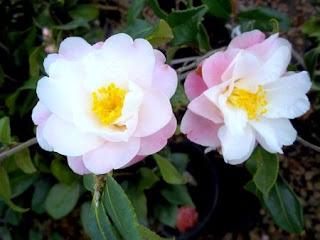 camellia%2Bstar%2Babove%2Bstar.jpg